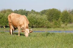 Brown cow grazing in a pasture Stock Photo