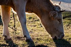 Brown cow grazing at sunset royalty free stock images