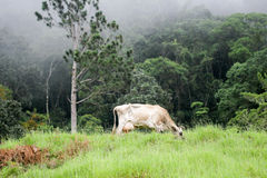Brown cow in green field. Band of home animals are in farm in front of the green forest Royalty Free Stock Image