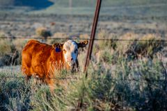 Brown Cow on Green Grass Royalty Free Stock Photos