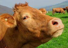 Brown Cow in Green Grass Field Stock Photo