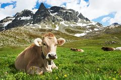 Brown cow on green grass pasture. Milck cow with grazing on Switzerland Alpine mountains green grass pasture over blue sky royalty free stock photos