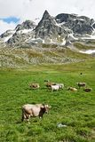 Brown cow on green grass pasture. Milck cow with grazing on Switzerland Alpine mountains green grass pasture over blue sky royalty free stock image