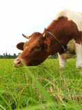 Brown cow on a green meadow. The cow of red breed eats a grass on a meadow Royalty Free Stock Photography