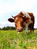 Brown cow on a green meadow. The red cow eats a fresh grass on a meadow Stock Photography