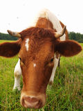 Brown cow on a green meadow Royalty Free Stock Image