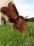 Brown cow on a green meadow Stock Photos