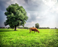 Brown cow on green meadow with trees Stock Photography