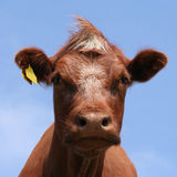 Brown cow head shot Royalty Free Stock Photography