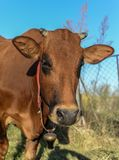 Brown cow headshot in blue sky royalty free stock photo
