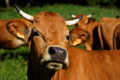 Brown cow with horns. Brown cattle with horns in a flock on a meadow Stock Images
