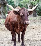 Brown Cow with Horns. In field with trees with Spanish moss stock photo