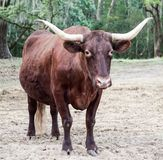 Brown Cow with Horns. In field with trees with Spanish moss stock image