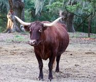 Brown Cow with Horns. In field with trees with Spanish moss stock photos
