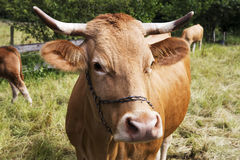 Brown cow with horns standing on grass Stock Image
