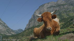 Brown Cow Lies on Green Grass among High Mountains stock video footage