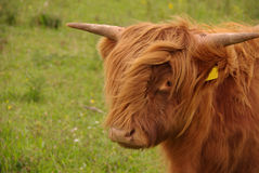 A brown cow with long hair Stock Photography