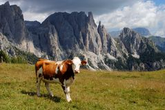 Brown cow looking at camera with alps background Stock Photo