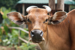 A brown cow looking at camera lense. A cow looking straight to camera lenses without any doubt Stock Photo
