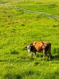 Brown cow looking into camera on meadow with green grass Royalty Free Stock Photography