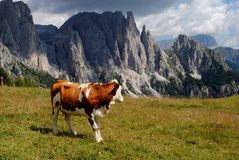Brown cow looking mountains with alps background Stock Photography