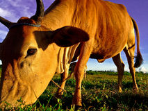 Brown Cow. Low angle Shot of a Cow Stock Photos