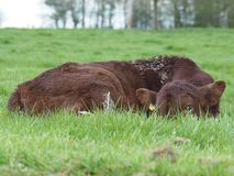 Brown Cow Lying on Green Grass Royalty Free Stock Image