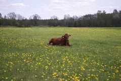Brown cow lying on the meadow. Royalty Free Stock Images