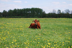 Brown cow lying on the meadow. Royalty Free Stock Photography