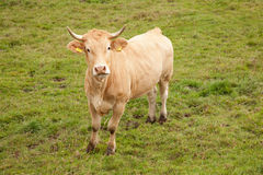 Brown cow in meadow looking up Stock Photography