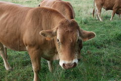 Brown cow in the meadow. Picture of a brown cow in the meadow Stock Images