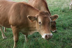 Brown cow in the meadow. Picture of a brown cow in the meadow Royalty Free Stock Photos