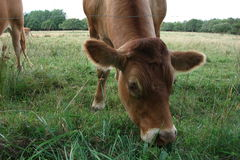 Brown cow in the meadow. Picture of a brown cow in the meadow Stock Photos