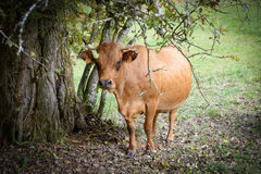 Brown cow in a meadow under  tree Royalty Free Stock Photography