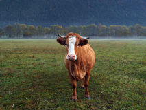 Brown Cow in a misty Morning Stock Photos