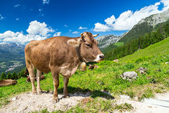 Brown cow in mountain landscape Royalty Free Stock Photography