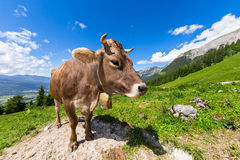 Brown cow in mountain landscape Stock Photos