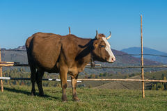 Brown cow in a mountain landscape Royalty Free Stock Image