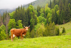 Brown cow on a mountain meadow. Brown milk cow in a meadow of grass with the mountians in the background. Mountiant covered with forest Stock Image