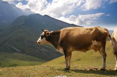 Brown cow in the mountains. In summer Stock Images