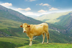 Brown cow in the mountains Royalty Free Stock Photos