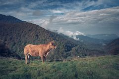Brown cow in the mountains stock photography