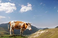 Brown cow in the mountains during summer Stock Images