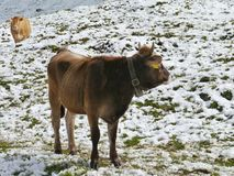 A brown cow in the mountains Royalty Free Stock Image