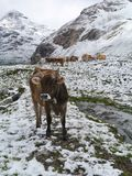 A brown cow in the mountains Stock Images