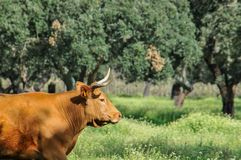 Cows on natural pastures. Brown cow on natural pastures Stock Photography