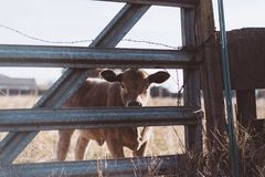 Brown Cow Near Gray Steel Fence Royalty Free Stock Photos