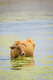 Brown cow with nice horns standing in water and chewing on lake weed in Atlas Mountains of Morocco Royalty Free Stock Photo