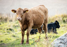 Brown cow on a pasture. A black cow lying in the backround Stock Photo