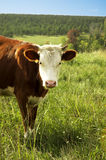 Brown cow with a pink nose. A brown cow with a pink nose and white head Stock Photos
